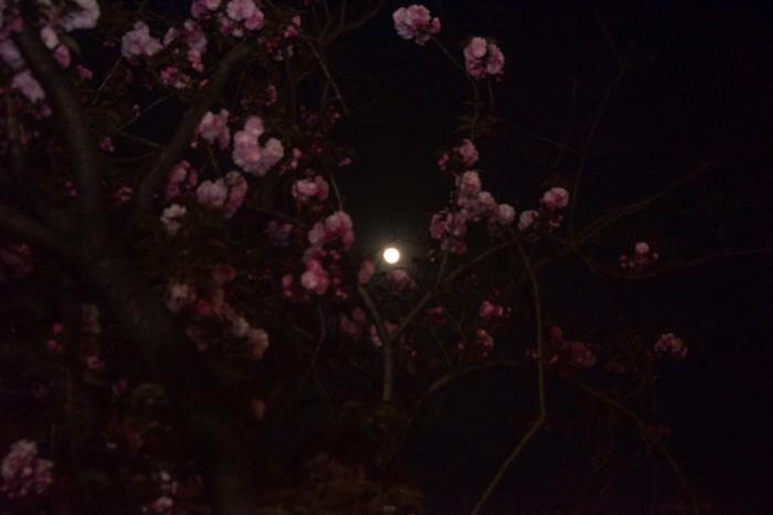 ツバキアキラが撮った、桜と月。